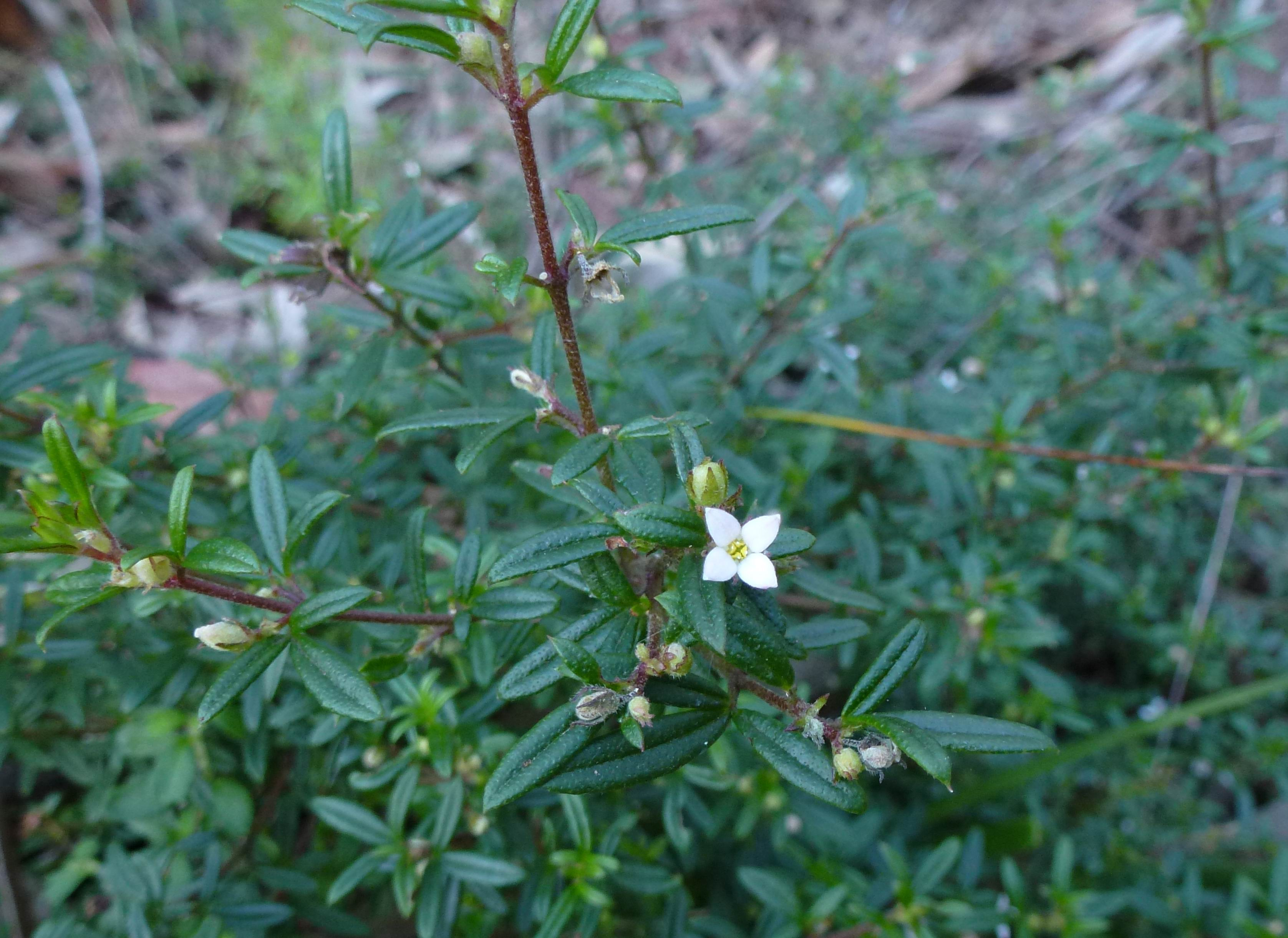 Oatley park flowers july oatley flora fauna conservation society low shrub with leaves in 3 stems hairy small white flowers with 4 petals sheltered slopes including headland track mightylinksfo