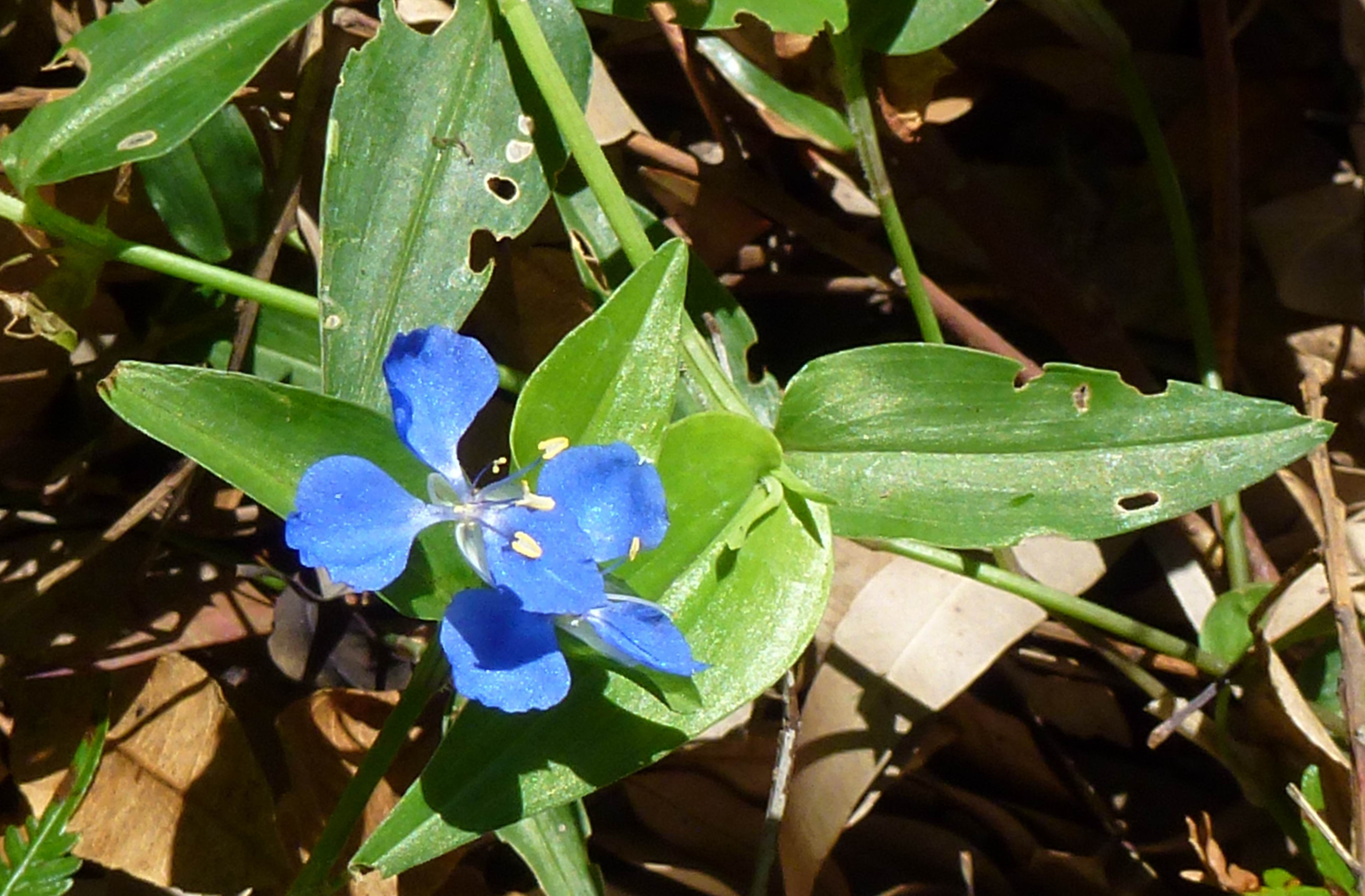 March blooms in oatley park oatley flora fauna conservation society commelina izmirmasajfo Images