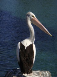 30. Australian Pelican