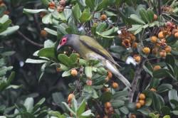 32. Australasian Figbird
