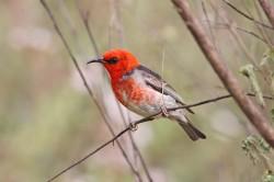 37. Scarlet Honeyeater