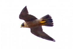 39. Peregrine Falcon