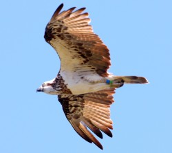 42. Eastern Osprey