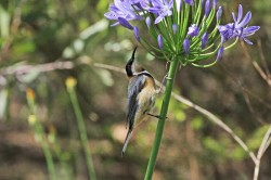 49.Eastern Spinebill