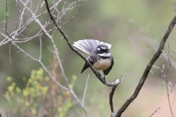 50. Grey Fantail