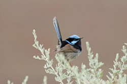 52. Superb Fairy-wren