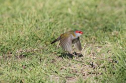 53. Red-browed Finch
