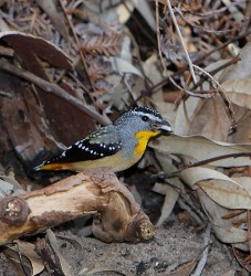 54. Spotted Pardalote