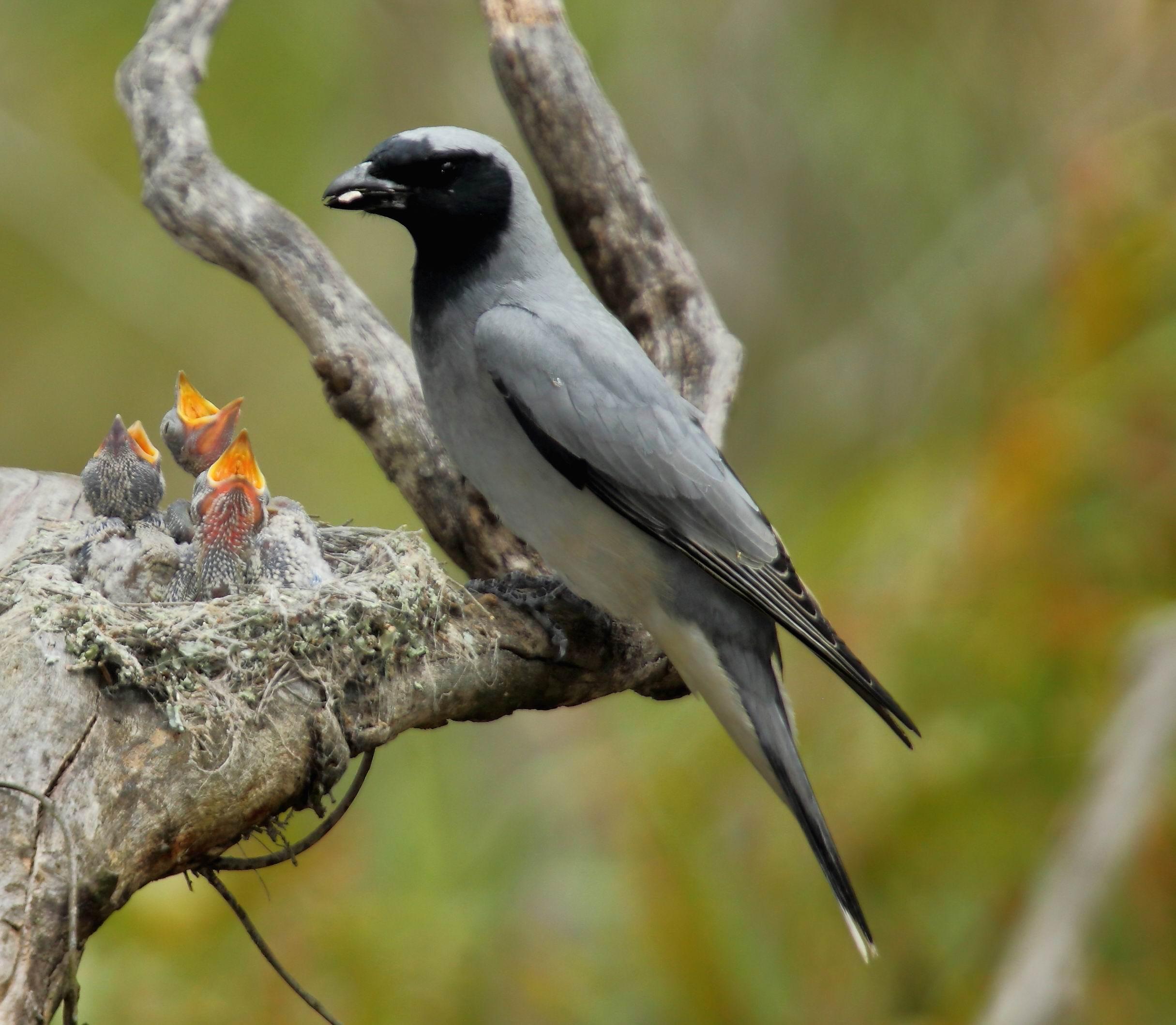 Black cuckoo bird - photo#12