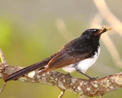 59. Willie Wagtail