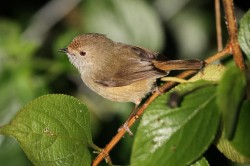 60. Brown Thornbill