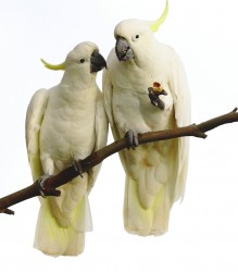 05. Sulphur-crested Cockatoo
