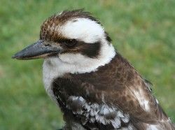 08. Laughing Kookaburra
