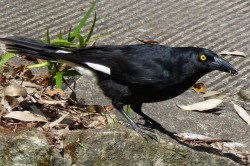 09. Pied Currawong
