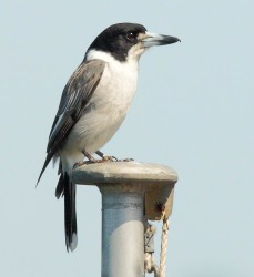 13. Grey Butcher Bird