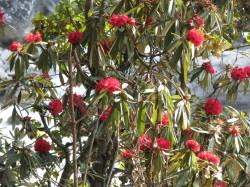 rhododendron 2 Bhutan_2013