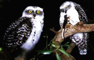 Powerful owlet Oatley