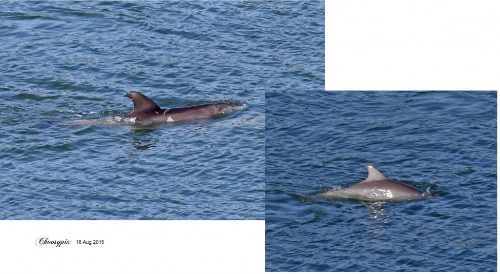 Dolphins aug2015