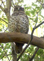 powerful-owl-084-web