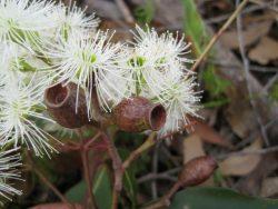 Corymbia gummifera fruit _2_