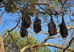 Flying-foxes rq_0020