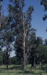 03 Eucalyptus longifolia