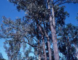 05 Eucalyptus fibrosa