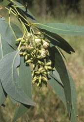 06 Eucalyptus fibrosa