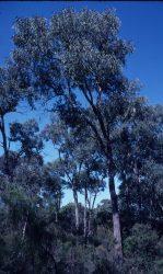 07 Eucalyptus sideroxylon