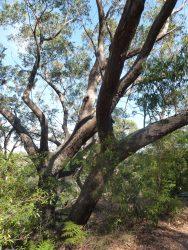 13 Eucalyptus piperita