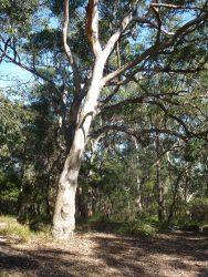 15 Eucalyptus punctata