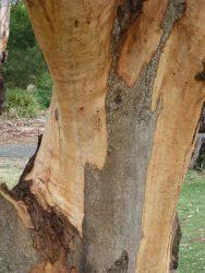 16 Eucalyptus punctata