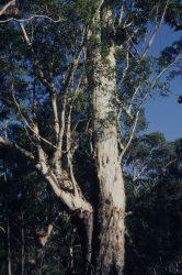 17 Eucalyptus pilularis