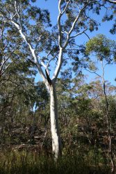 19 Eucalyptus sclerophylla
