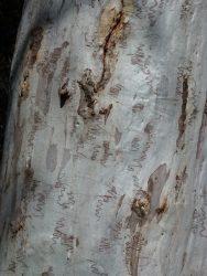 20 Eucalyptus sclerophylla