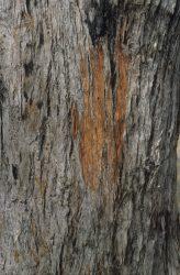 22 Eucalyptus resinifera